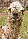 Free Alpaca Stock Photography - 21245092