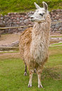 Free Alpaca Royalty Free Stock Photos - 21245138