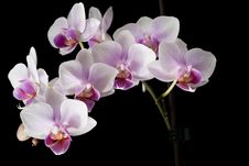 Free Violet Orchid On Black Stock Images - 21240224