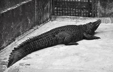 Free Black Crocodile Stock Image - 21242361