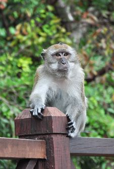 Free Expressive Face Of Monkey Royalty Free Stock Images - 21242989