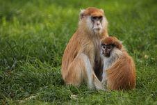 Free Patas Monkey Stock Images - 21243994