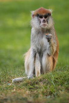 Free Wadi Monkey Stock Images - 21244014