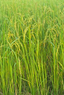 Free Rice Stock Photo - 21244250