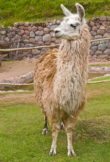 Free Alpaca Royalty Free Stock Photos - 21245138