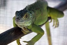Free Green Water Dragon. Royalty Free Stock Photo - 21245795