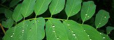 Free Rain Drops On Acacia Leaves Royalty Free Stock Image - 21245836