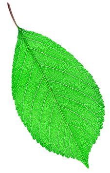 Free Green Leaf Close-up Stock Image - 21246031