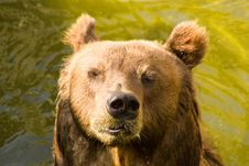 Free Brown Bear Royalty Free Stock Images - 21246109