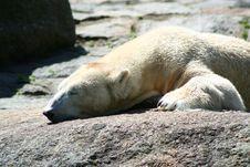 Free Polar Bear Royalty Free Stock Photo - 21247295