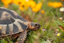 Free Tortoise Amongst The Flowers Stock Images - 21247304