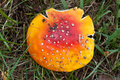 Free Amanita Muscaria - Top View. Stock Photography - 21252782