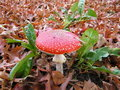 Free Fly Agaric Stock Images - 21254474