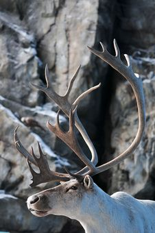 Free Closeup Of Stag Stock Photos - 21250163