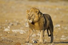 Free Close-up Of Male Lion Walking On Open Field Royalty Free Stock Photos - 21251318