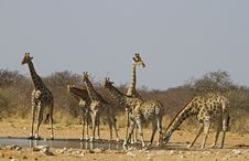 Free Giraffe S Drinking And On The Lookout Royalty Free Stock Photo - 21251575