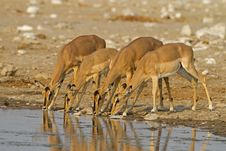 Free Black-Faced Impalas Royalty Free Stock Photos - 21251648