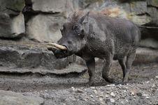 Free Warthog Stock Image - 21252061