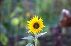 Free Sunflower Stock Image - 21253831