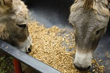 Free Donkeys Feed Stock Photo - 21253840