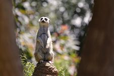 Free Meerkat Lookout Royalty Free Stock Photo - 21253865