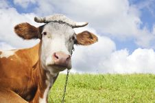 Free Brown Cow Stock Photography - 21254122