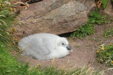 Free Fulmar Chick (Fulmarus Glacialis) Stock Photo - 21254390