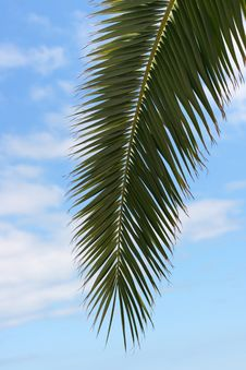 Free Palm Tree Royalty Free Stock Photography - 21255377
