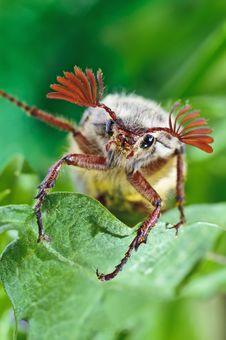 Free Maybug Sitting On Green Leaf Stock Photos - 21255593
