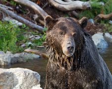Free Dripping Grizzly Royalty Free Stock Photography - 21256697