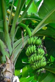 Free Bananas On A Banana Tree Stock Image - 21257871
