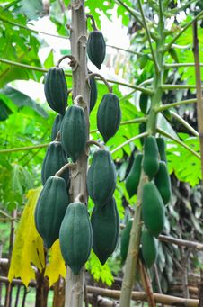 Papayas On Tree Royalty Free Stock Photography