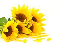 Free Sunflowers Stock Photos - 21259293