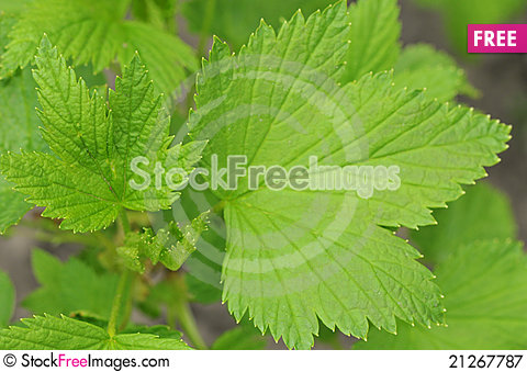 Free Green Leaf Grape Plant Royalty Free Stock Photography - 21267787