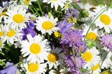 Free Bouquet Of Wild Camomiles Stock Photos - 21260063