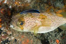 Free Porcupine Fish Stock Photography - 21260112