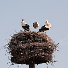 Free Storks Royalty Free Stock Image - 21260486