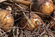 Free The Fresh Onions Stock Photo - 21260550