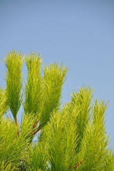 Free Pine Tree Stock Image - 21260761