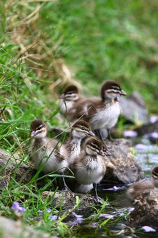Free Ducklings By The Pond Stock Photography - 21261032
