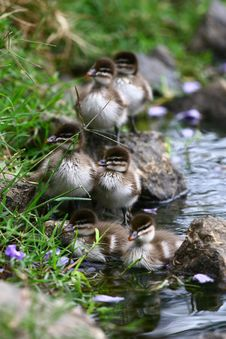 Free Ducklings By The Pond Stock Photo - 21261090