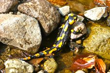 Free Spotty Salamander Royalty Free Stock Photography - 21261477