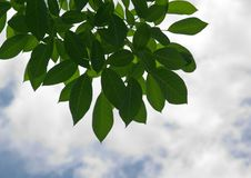 Free Green Leaves. Stock Image - 21264041
