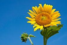Yellow Sunflower Against Blue Sky Stock Image