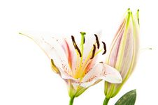 Free Lily Flower Isolated On White Stock Photography - 21265552