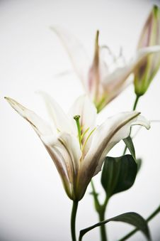 Free Beautiful Lily Flower Stock Photo - 21265610