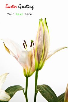 Free Lily Flower Isolated On White Royalty Free Stock Photography - 21265847