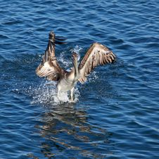 Free Pelican Landing On Water Stock Photos - 21266653