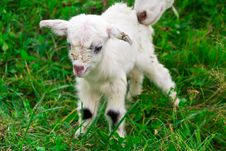 Free Cute White Goat Kid Stock Images - 21267564