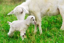 Cute White Goat Kid With Mother Goat